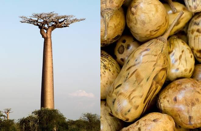 Magično super voće – baobab