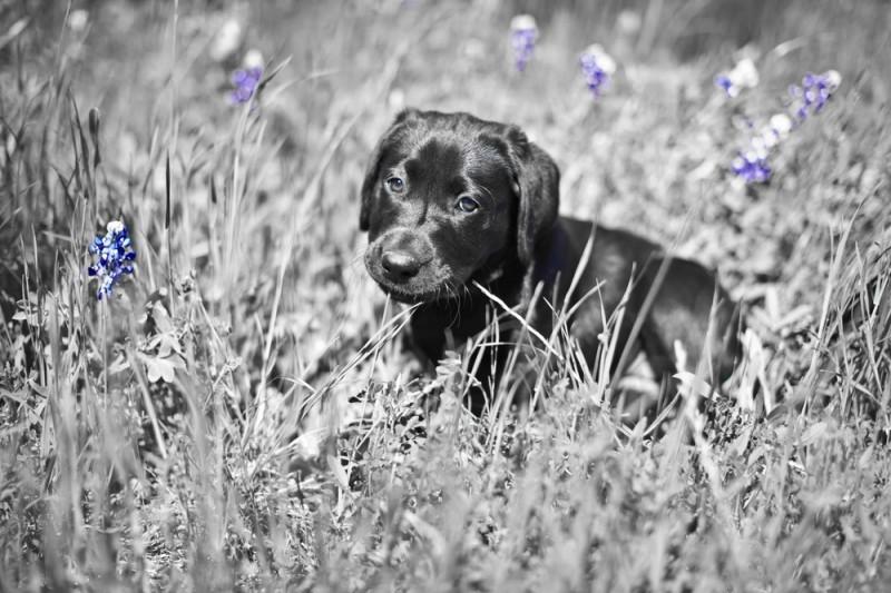 Labrador spasio život mačku