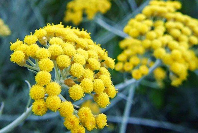 Smilje – biljka za ljepotu i mladolikost