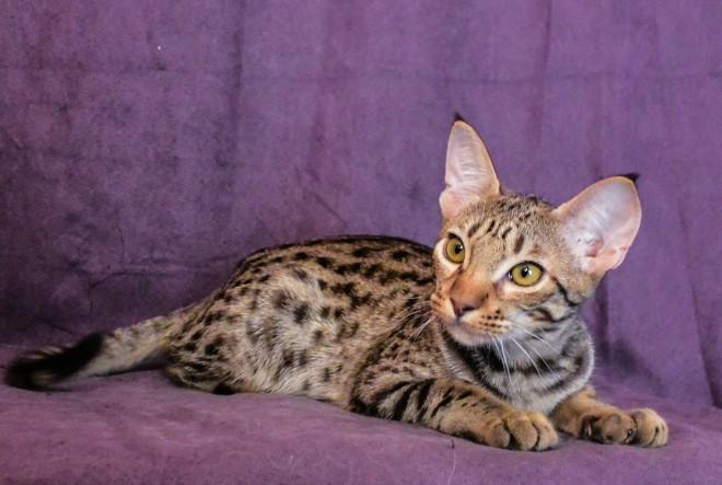 Rijetka mačka Ocicat pasmine na međunarodnim izložbama mačaka u Westgateu