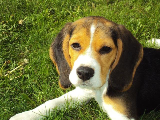 beagle-puppy-2681_640