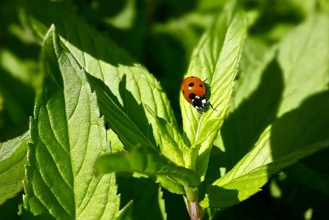 ladybug-1560298_960_720