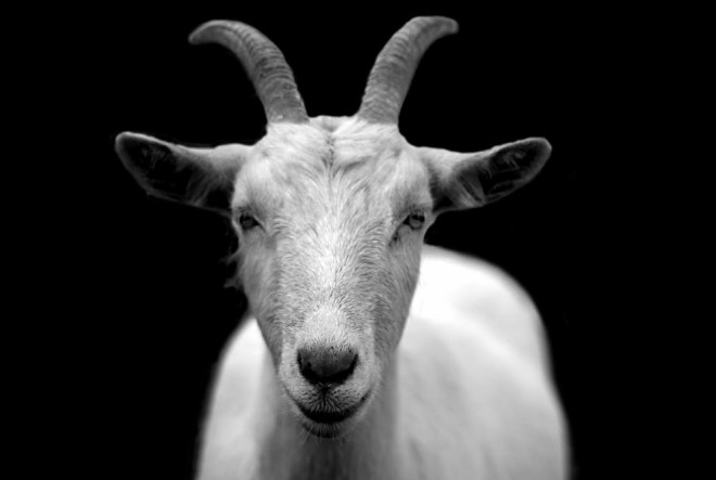 goat-animal-horns-black-and-white-86594