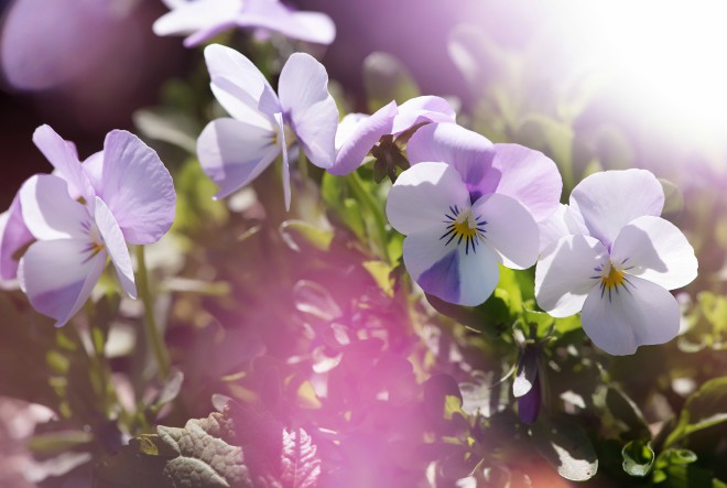 Kako uspješno uzgojiti maćuhice na terasi