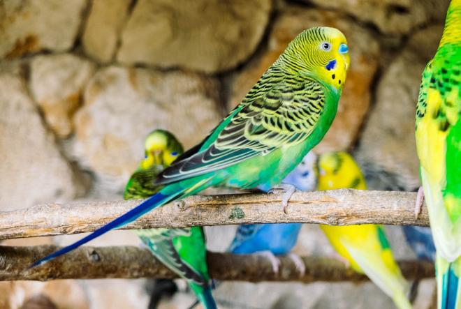 Znate li zašto su ptice odlični kućni ljubimci