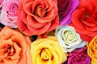 Što nam govori boja ruže?