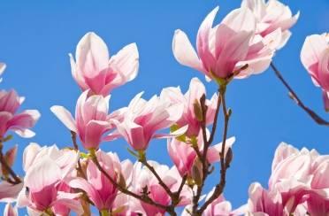 Neodoljive čari magnolija